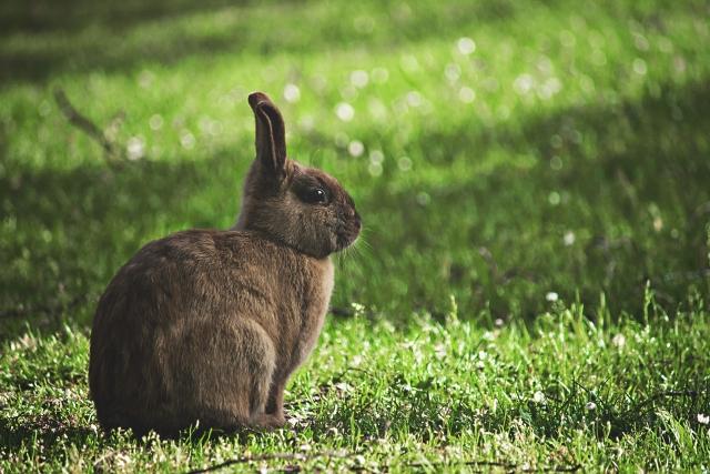公園で横を見ているウサギの画像